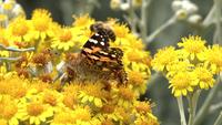 Vlinder aan gele bloemen