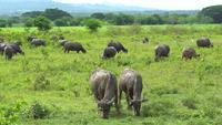 Un troupeau de buffles paissant