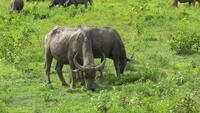 Two buffaloes are grazing in a field