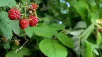 Framboise juteuse mûre rouge dans le jardin