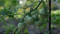 Tomates verdes que crecen en el jardín