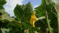 Blühende Gurkenblume