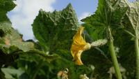 Fleur de concombre en fleurs