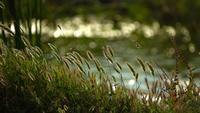 Riet en het meer in de natuur