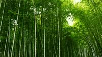 Arashiyama Bamboo Groves i Japan.