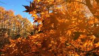 Folhas de outono no fundo do céu no Japão.