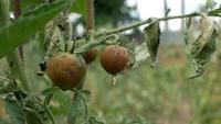 Tomates podridos colgando de una rama