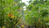 Perejil verde en el jardín meciéndose en el viento