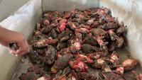 Fresh Cast of Crabs Tied up in a Tank