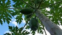 Grüner Papaya-Baum