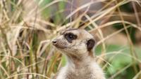 Close up Meerkat In Tall Grass