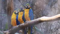 Three Macaws On Branch