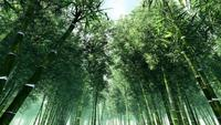 Lush Green Tall Forest Bamboo Trees