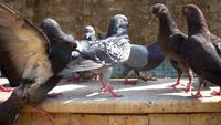 Bandada de palomas de pie en la piscina de la fuente y agua potable