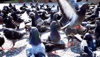 Troupeau de pigeons debout et marchant sur un sol en béton
