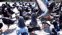 Flock of Pigeons Standing and Walking on Concrete Ground