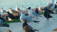 Mouette et pigeons au repos