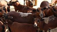 Braune Schafe, die neugierig die Kamera in einem Corral betrachten