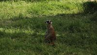 Meerkat On Sentry Duty Turning