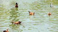 Gansos egípcios flutuando no lago verde