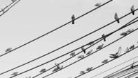Schwarzweiss-Vögel auf einem elektrischen Drahtseil