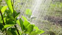 Vattna växter i trädgården