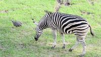 Zebra die gras eet