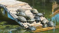 Schildpadden die Zonnebaden op Hout in Meerwater hebben