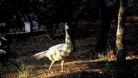 A white peacock is walking under warm sunlight in slow motion