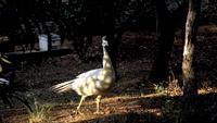 Ein weißer Pfau geht in Zeitlupe unter warmem Sonnenlicht
