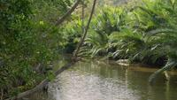 Breeze blowing through creek and lush Nipa palm grove