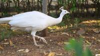 Um pavão branco está comendo em um jardim