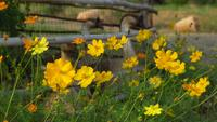 Group of yellow cosmos flowers