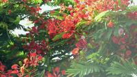 De Royal Poinciana-boom bloeit en wuift met de wind mee.