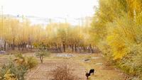 Vacas pastando na cena do outono com folhas caindo