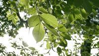 Beauté du soleil à travers les feuilles vertes de l'arbre.