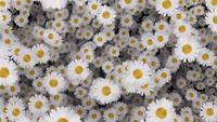 Going through an ocean of beautiful white daisies
