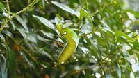 Caterpillar die de groene bladeren van de rouwbandjasmijn eten