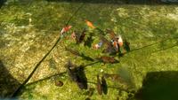 Goldfischschwärme schwimmen im Teich herum