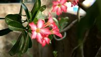 Pink Adenium Obesum flowers swaying in garden
