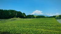 Green tea garden, landscape behind Mount Fuji.