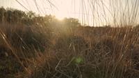 Sol brilhando através da grama alta durante o pôr do sol