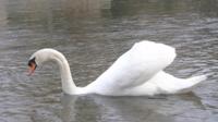 Un hermoso cisne