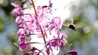 Bumble Bee On Fireweed