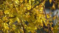 Close up on Forsythia Plant