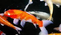 Schöne Koi-Fische, die im Teich schwimmen