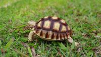 Tortue marchant sur la pelouse