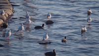 Hermosas gaviotas y patos de lona por la costa
