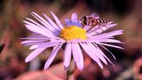 Honeybee Collecting Nectar On A Beautiful Daisy Flower