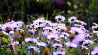 Beautiful Oxeye Daisy Flowers In The Meadow